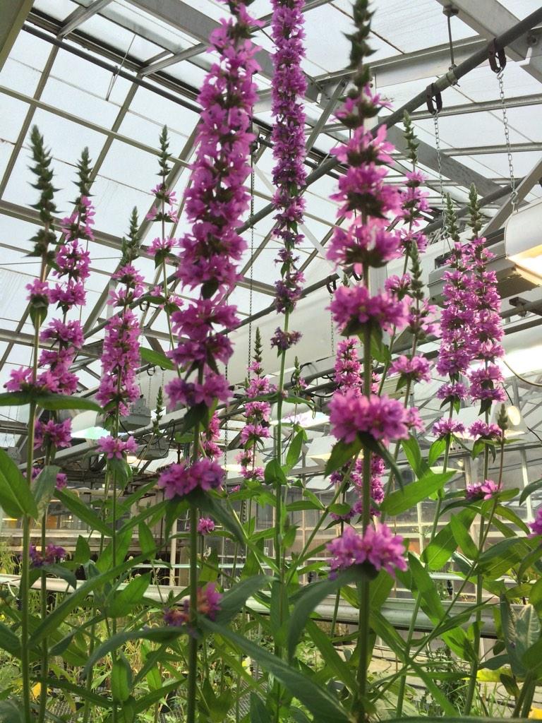 purple loosestrife  u2013 identifying noxious weeds of ohio
