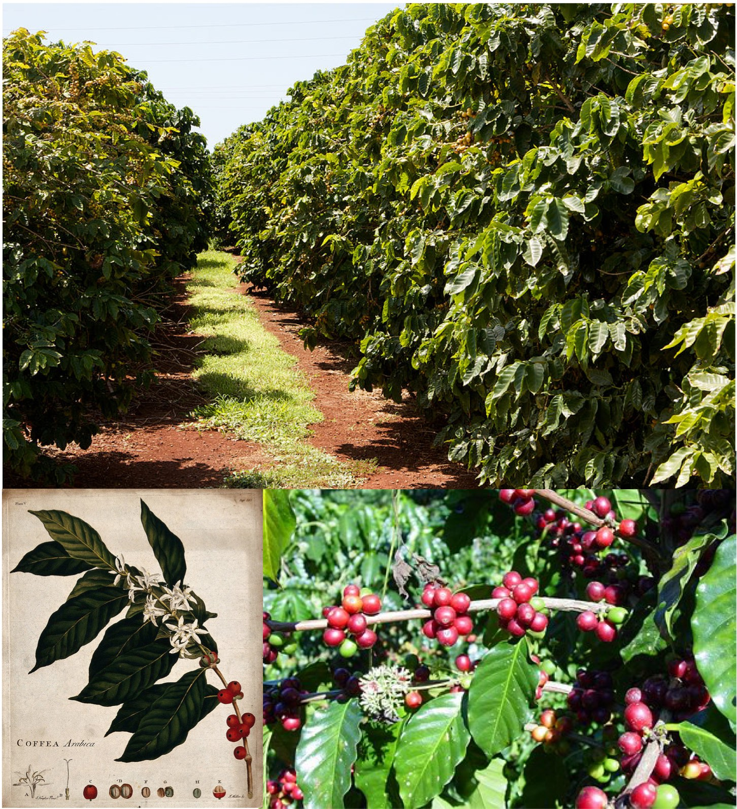 coffee plantation with close-up of coffee berries on plant