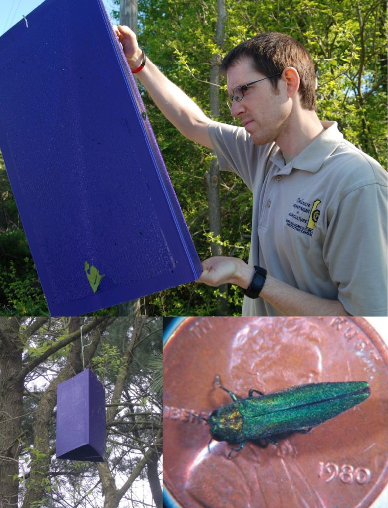 Sticky Traps Designed to Catch Emerald Ash Borer Beetles