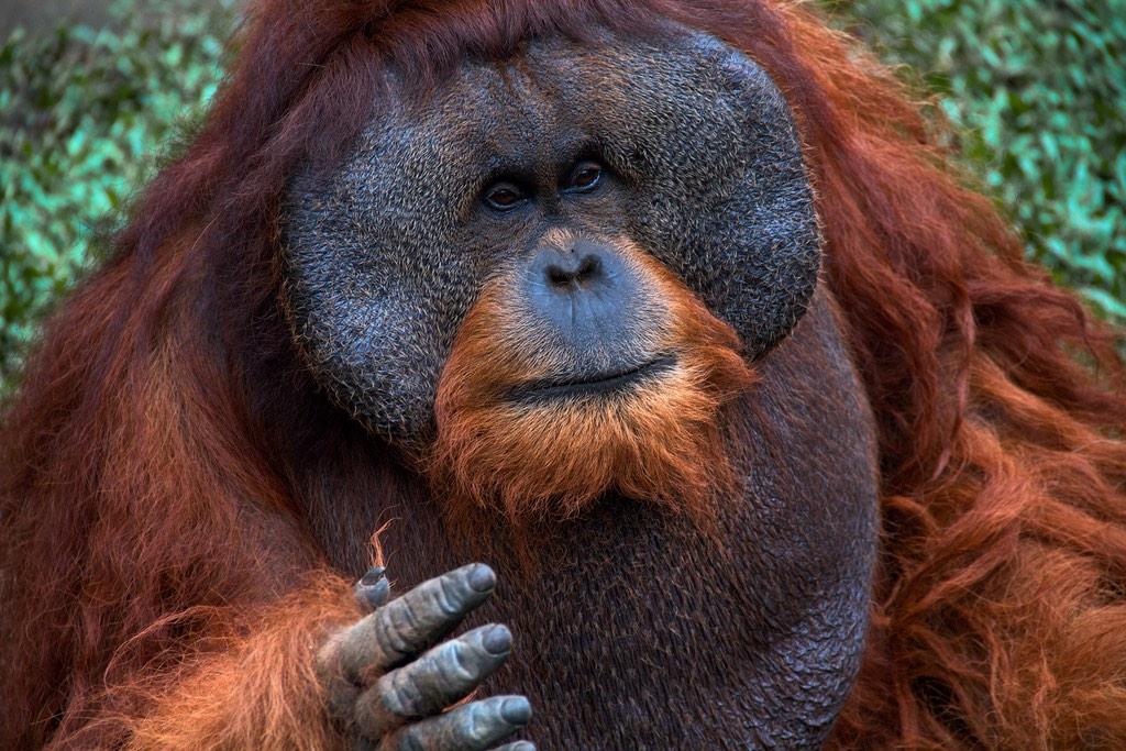 Male Sumatran Orangutans