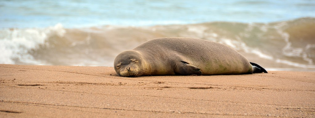 Adult Hawaiian Monk Seal Laying on Sand Beach Asleep