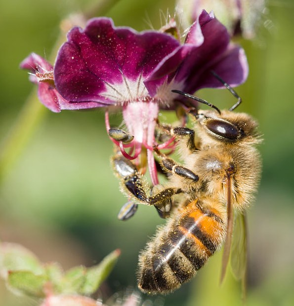 Honeybee Attached to Flower to Retrieve Nectar