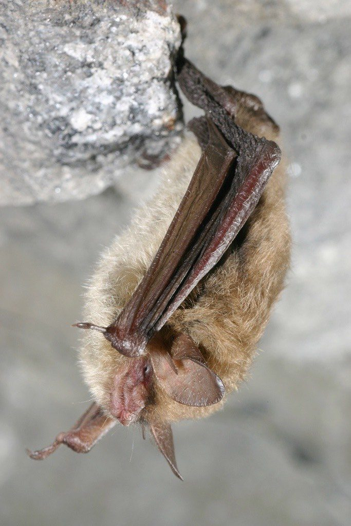 Northern Long Eared Bat Hanging From Rock Ledge