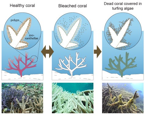 Diagram displaying health states of coral