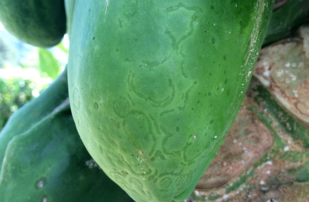 Ringsopt virus on papaya