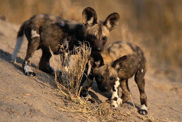 Young African Wild Dogs with Distinct Coat Patterns