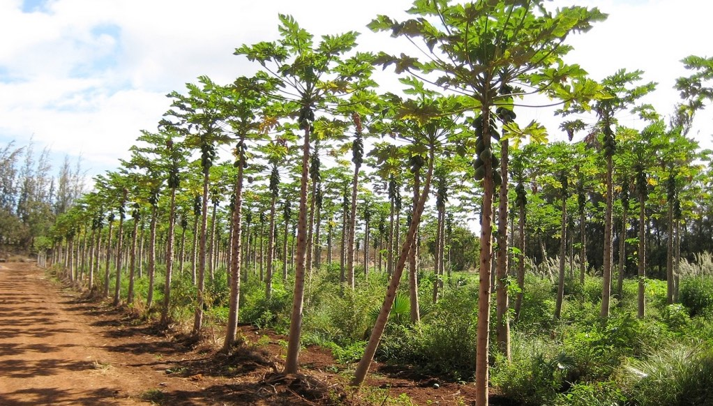 Stand of papaya trees