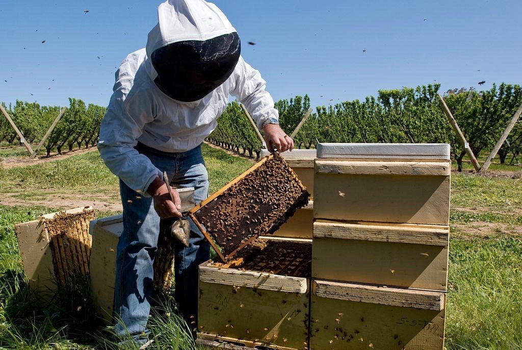 Beekeeper Removing Hive to Inspect Bee Population