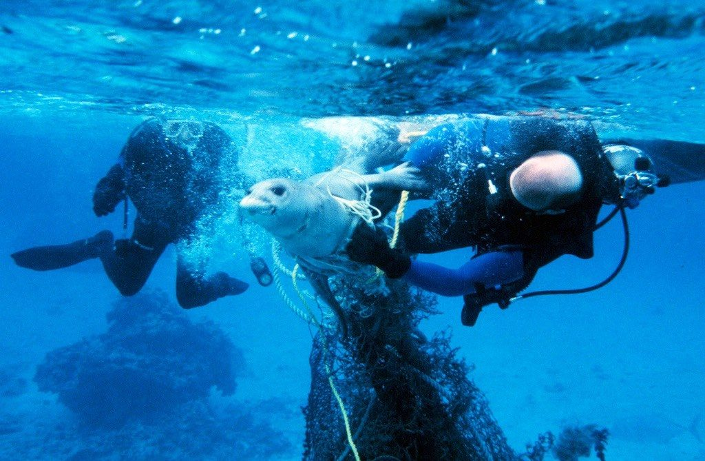 Scuba Divers Removing Debris Entangled Around a Monk Seal