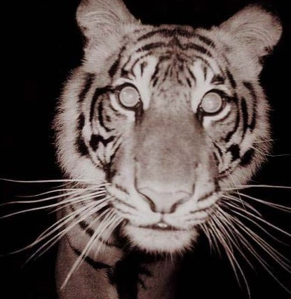 Motion Sensor Photograph Taken of Sumatran Tiger