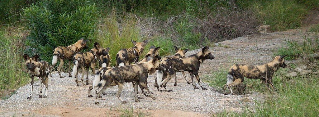 Pack of African Wild Dogs on Prowl for Food