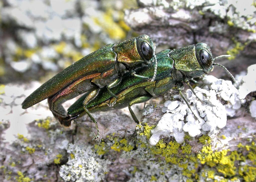 Emerald Ash Borer Beetles Mating