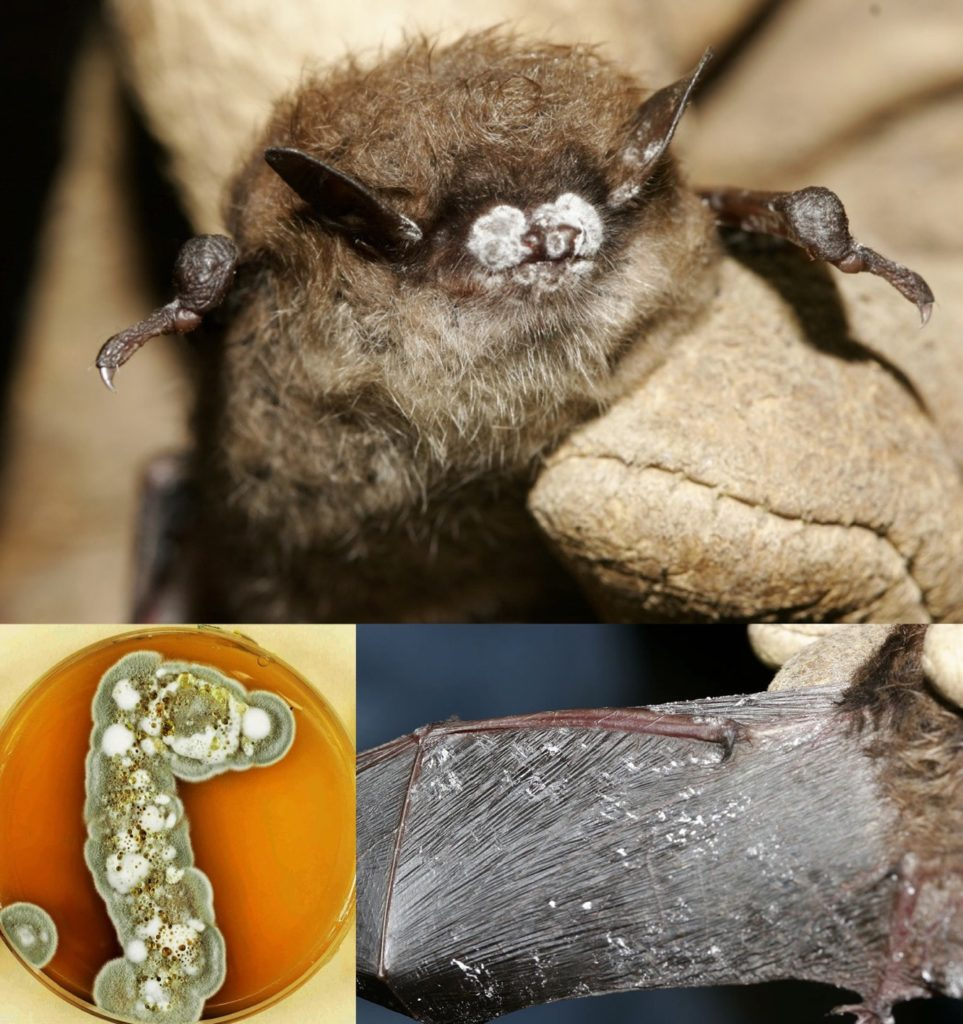 Little Brown Bat with White Nose, Ears, and Wings from White Nose Syndrome Contraction