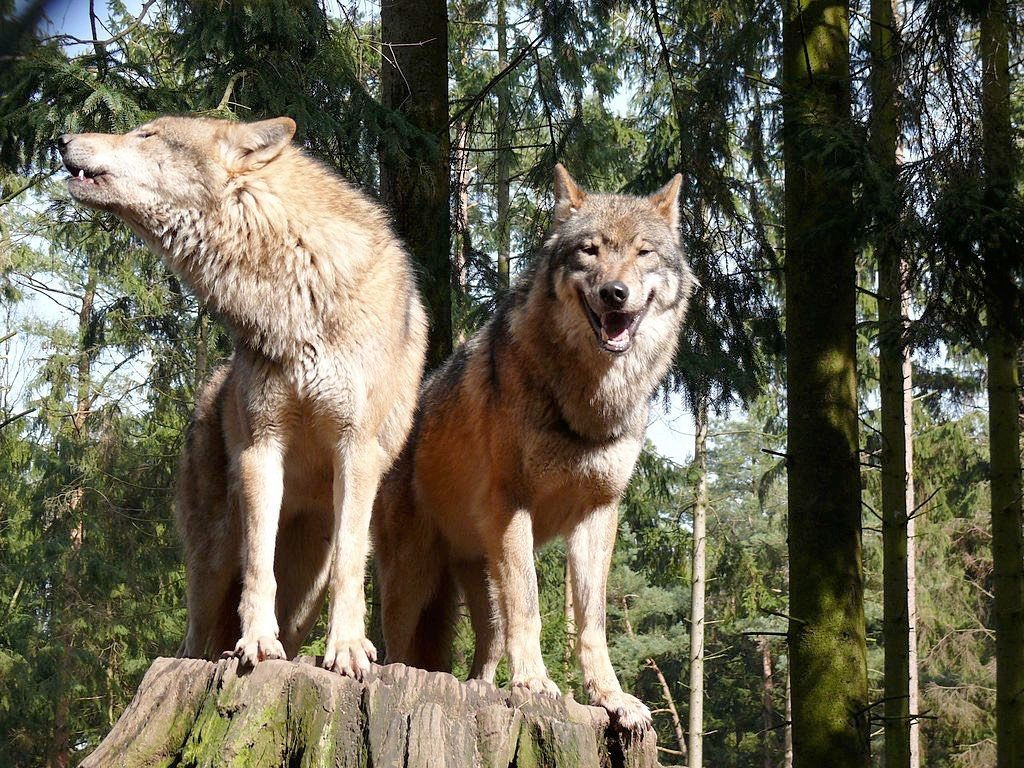 Two Wolves Perched in High Radiation Forest
