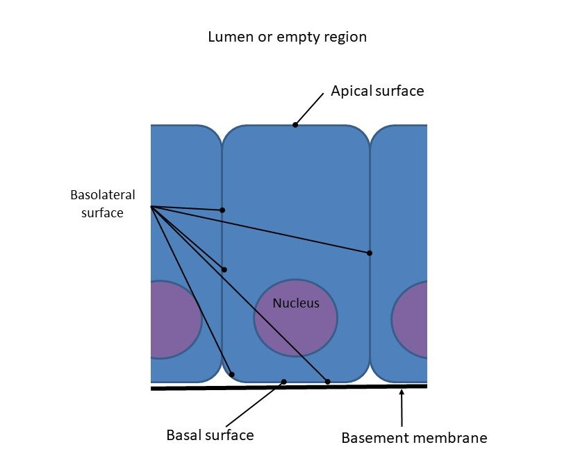 General terminology defining the regions of an epithelial cell.