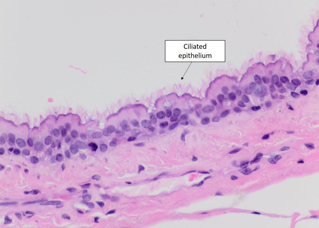 Modifications To Epithelium Veterinary Histology