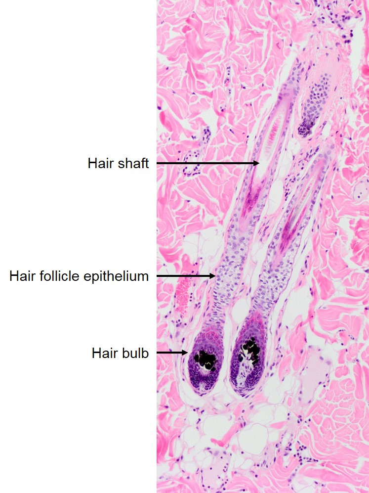 Dermal Adnexa – Follicles – Veterinary Histology