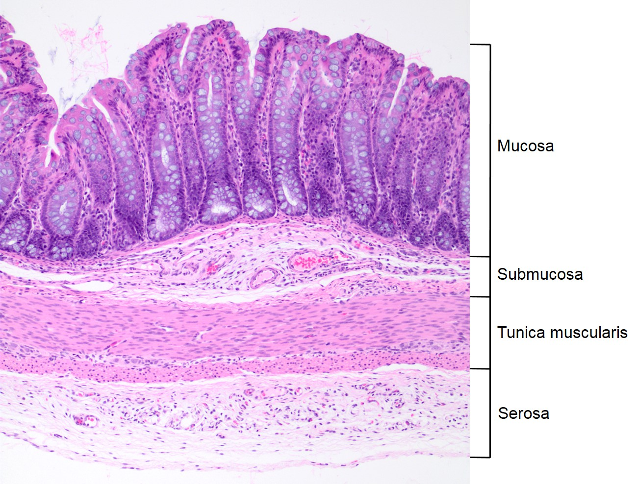 General Histologic Anatomy Of The Tubular Digestive Tract