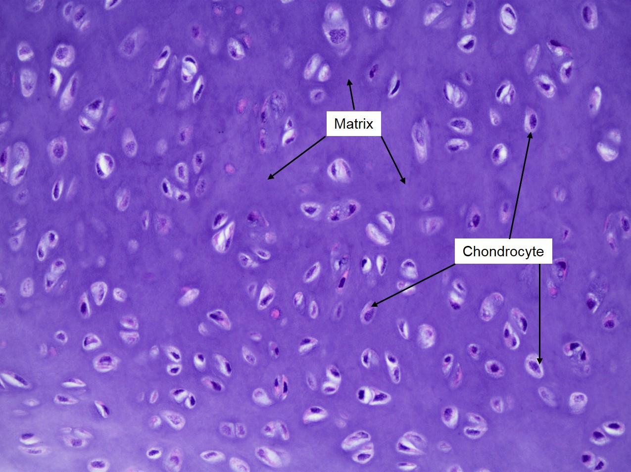 Cartilage Veterinary Histology