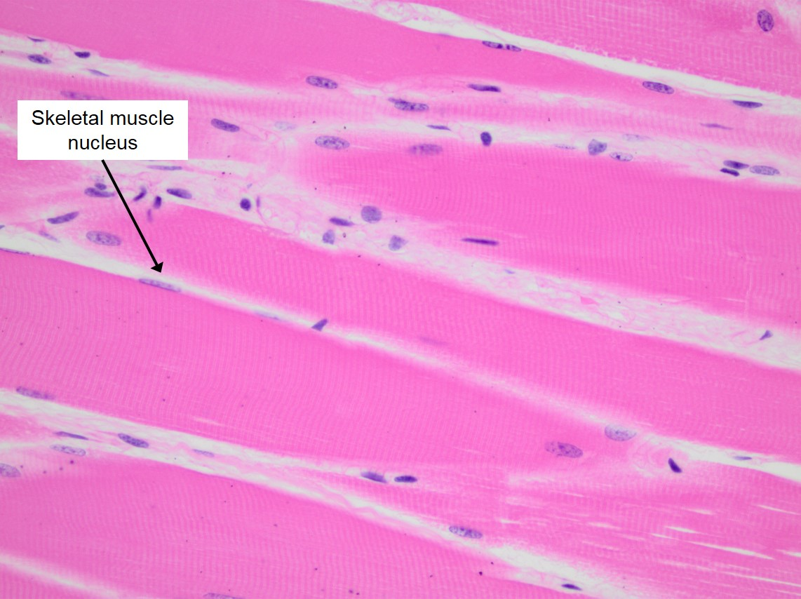 Skeletal Muscle Veterinary Histology