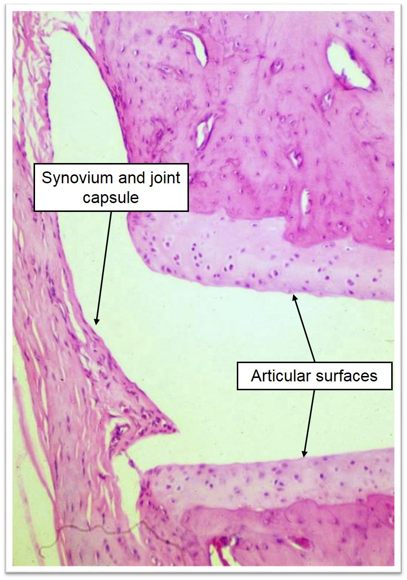 Tendons And Joints Veterinary Histology