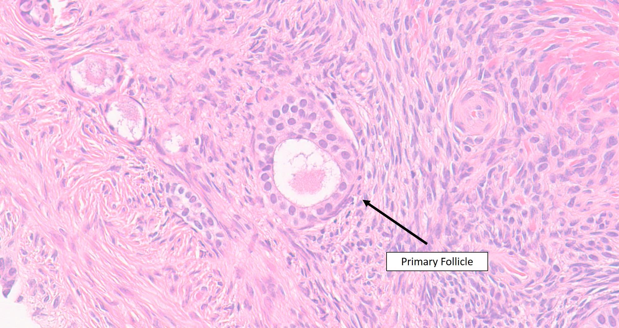 the ovary veterinary histology