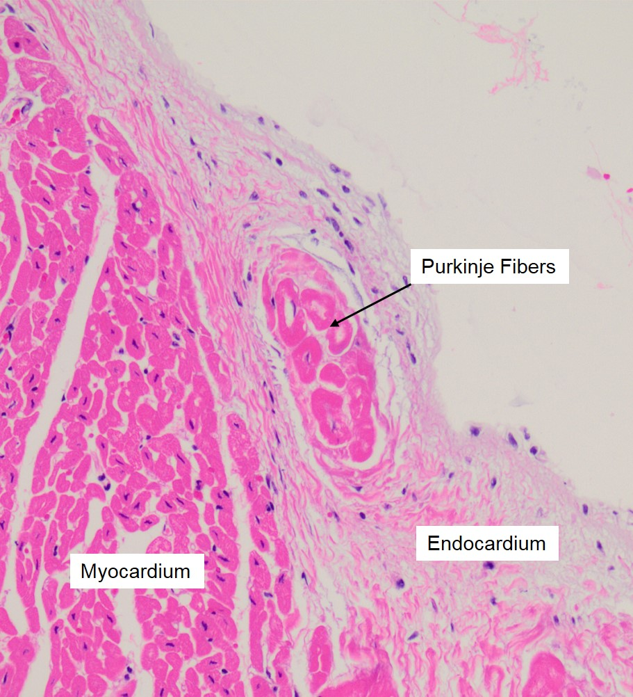 Overview Of The Heart Veterinary Histology