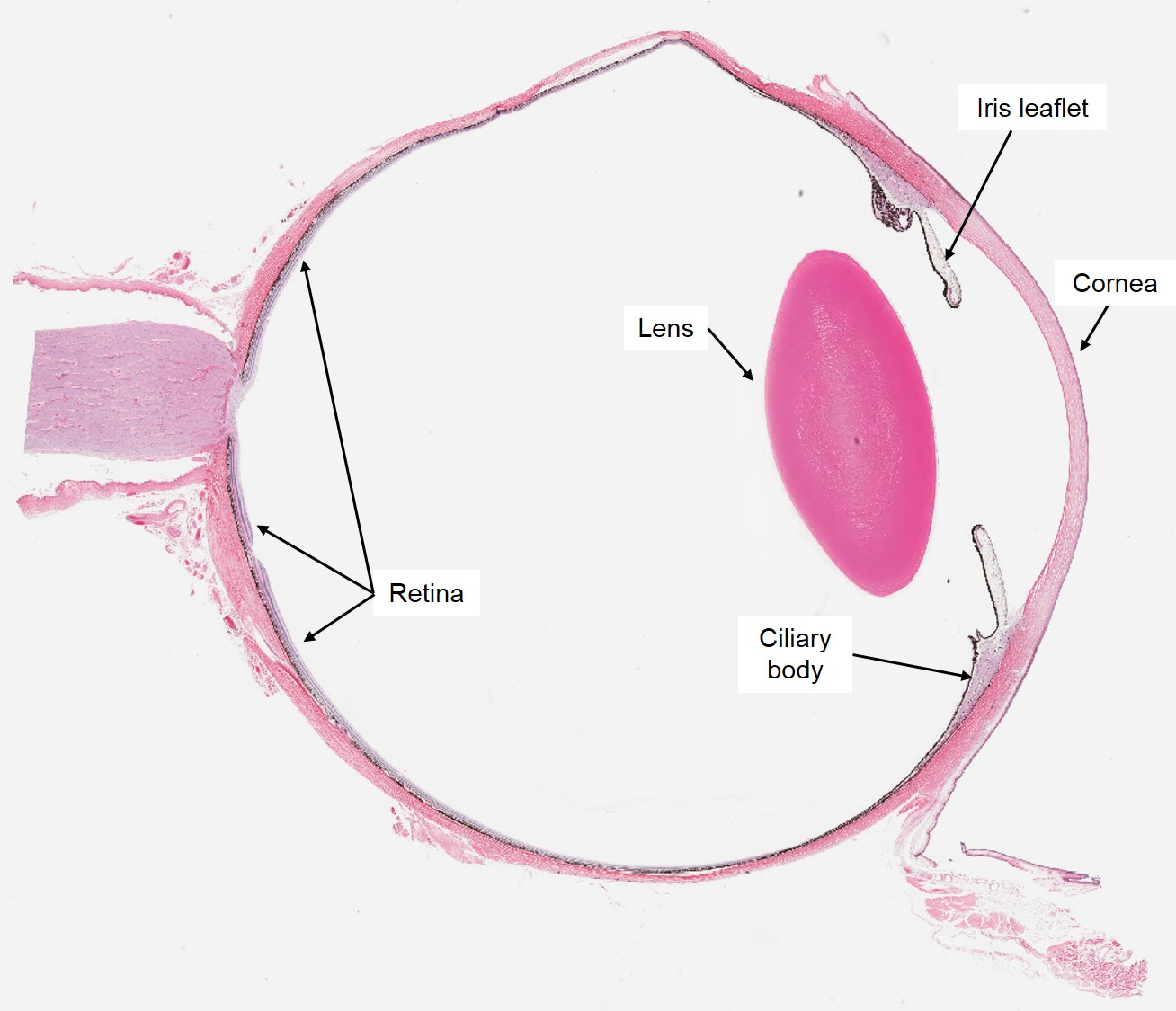 Vascular Tunic – Veterinary Histology