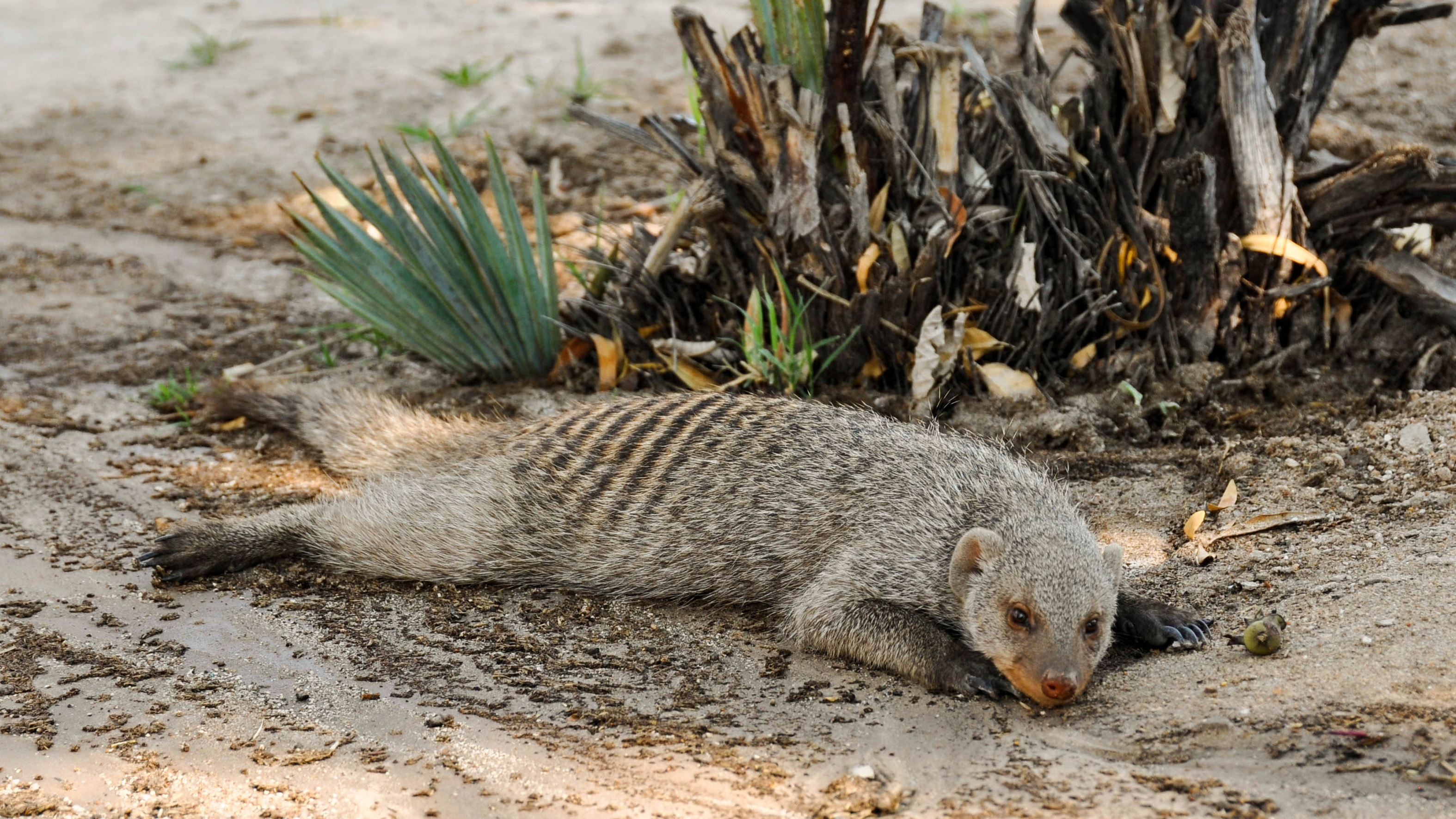 mongoose stretched out on ground in dirt in the sun