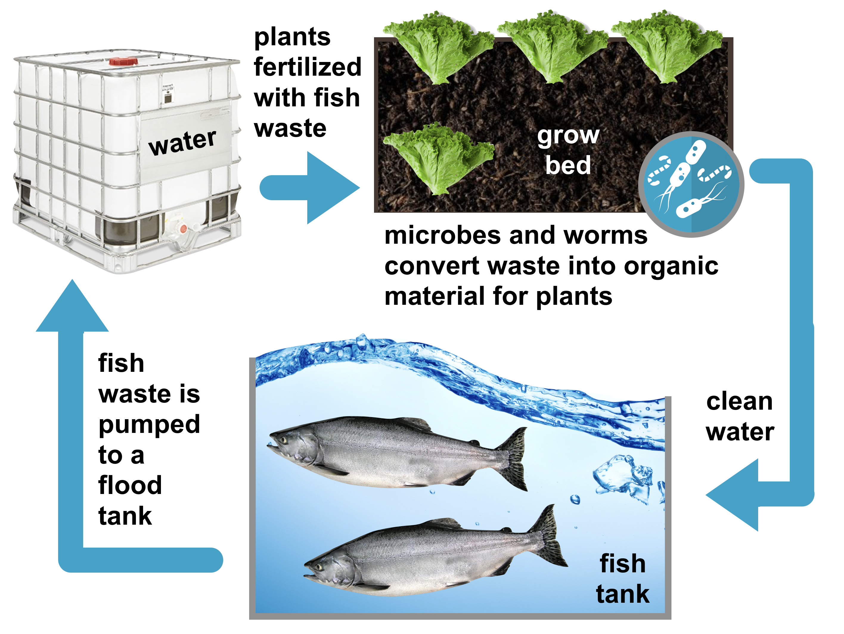 graphic showing the flow of an aquaponics system including the use of plants that have been fertilized by fish waste to clean the water of the fish tanks.