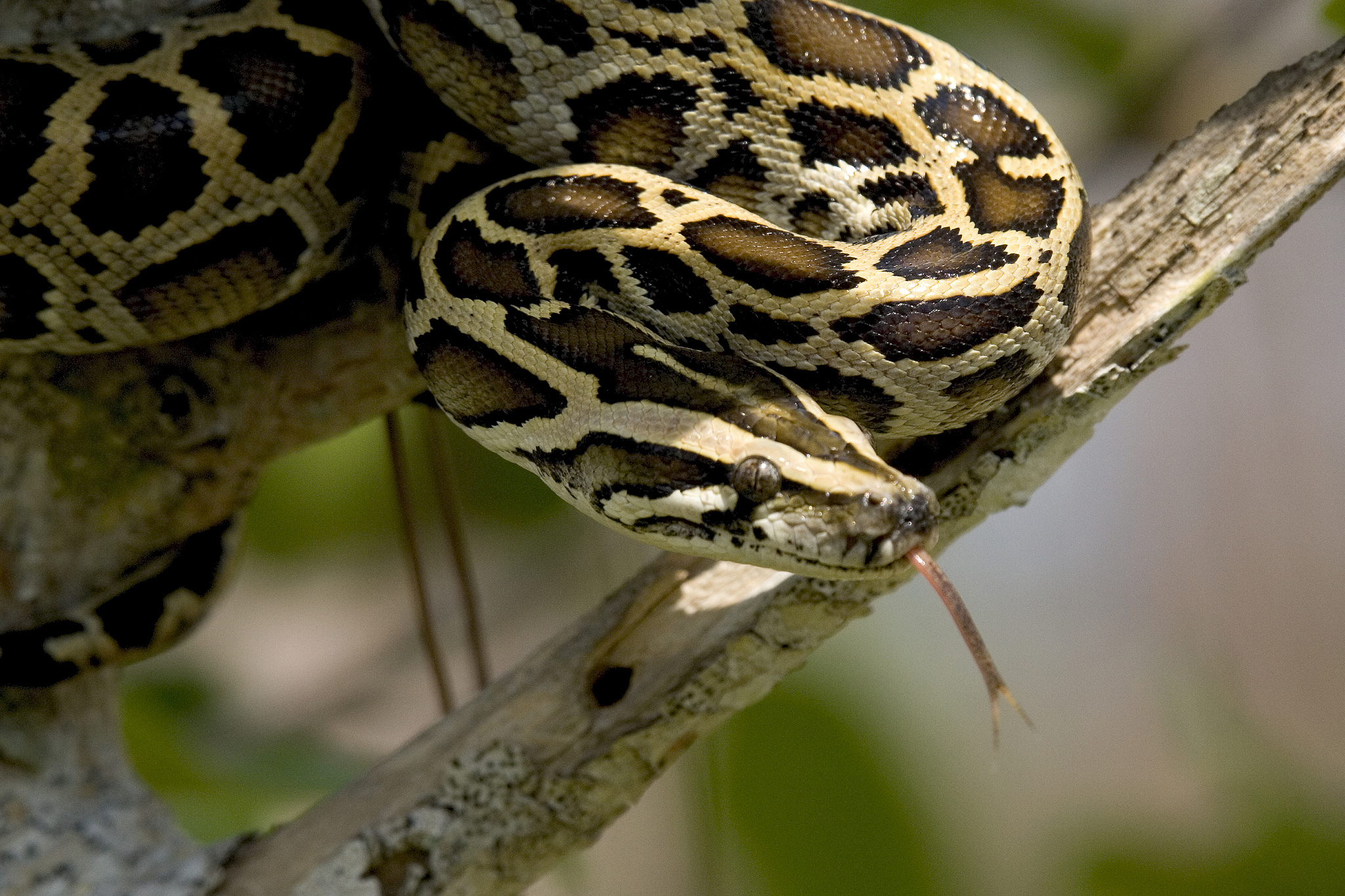 Burmese python wrapped around tree branch