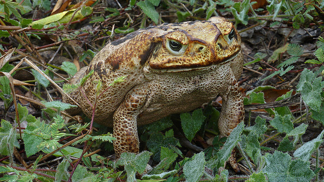 cane toad amongst twigs and leaves