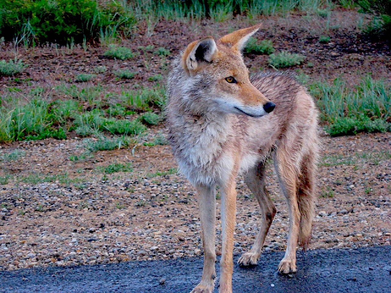coyote standing on a roadside