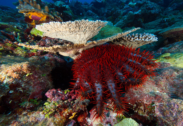 crown of thorns starfish on top of a coral reef
