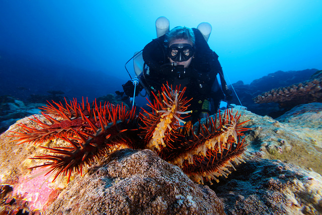 diver in scuba suit hovering over a crown of thorns starfish with a handheld device that is inserted into the starfish to inject the lethal substance