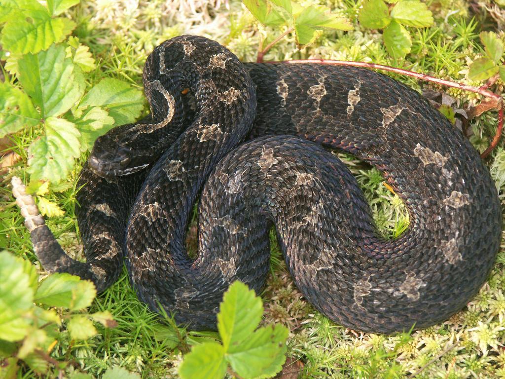 eastern massasauga snake