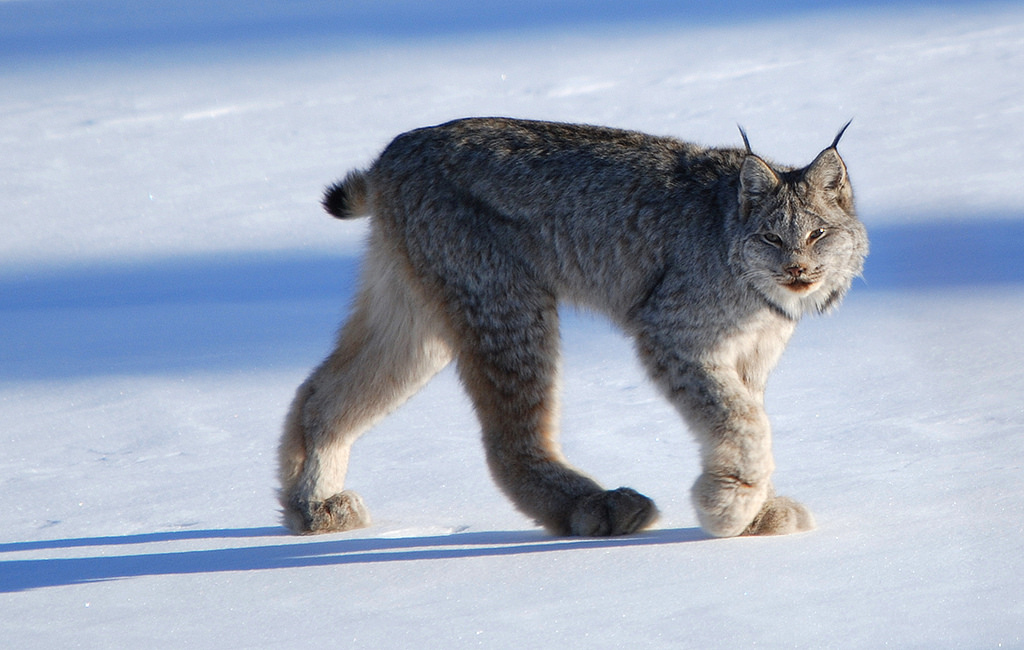 Canadian lynx walking across the snow