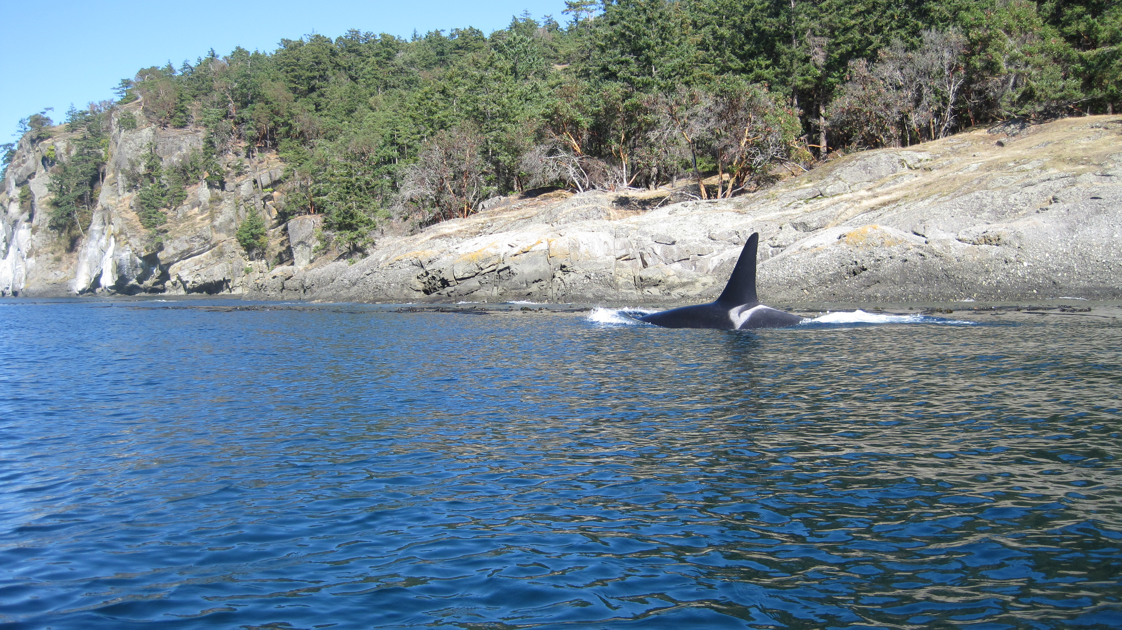 orca fin breaking the water surface in bay with small beach and tree line in background