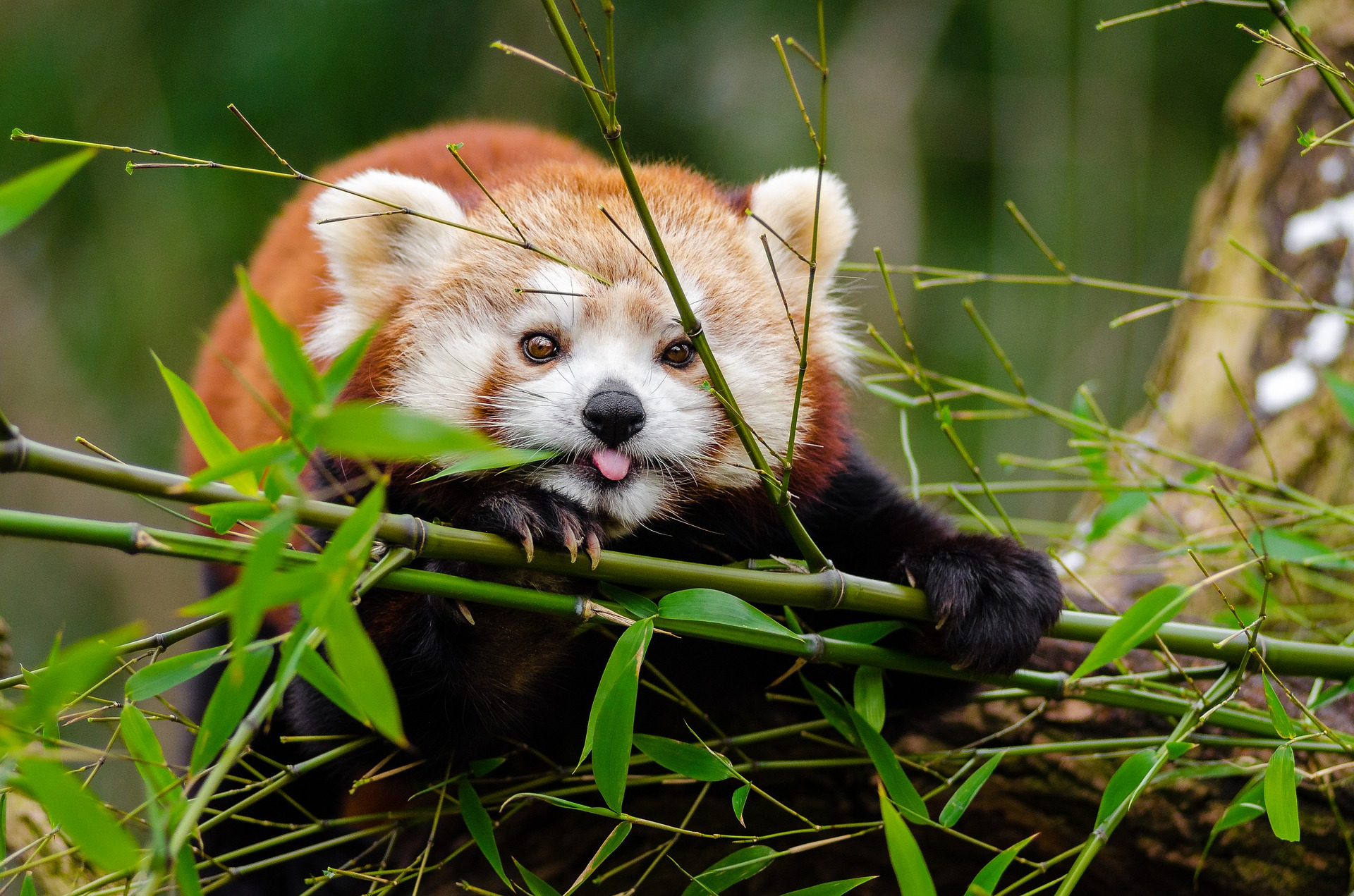 a red panda poking out from behind a bamboo shoot