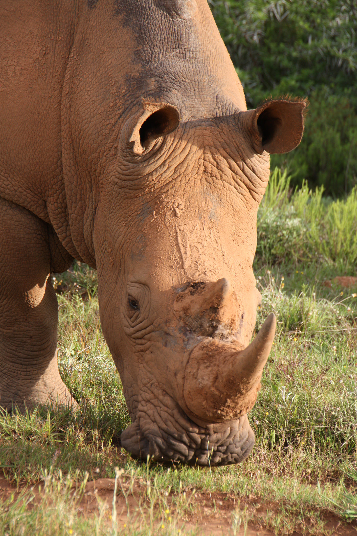 rhinoceros browsing on grass