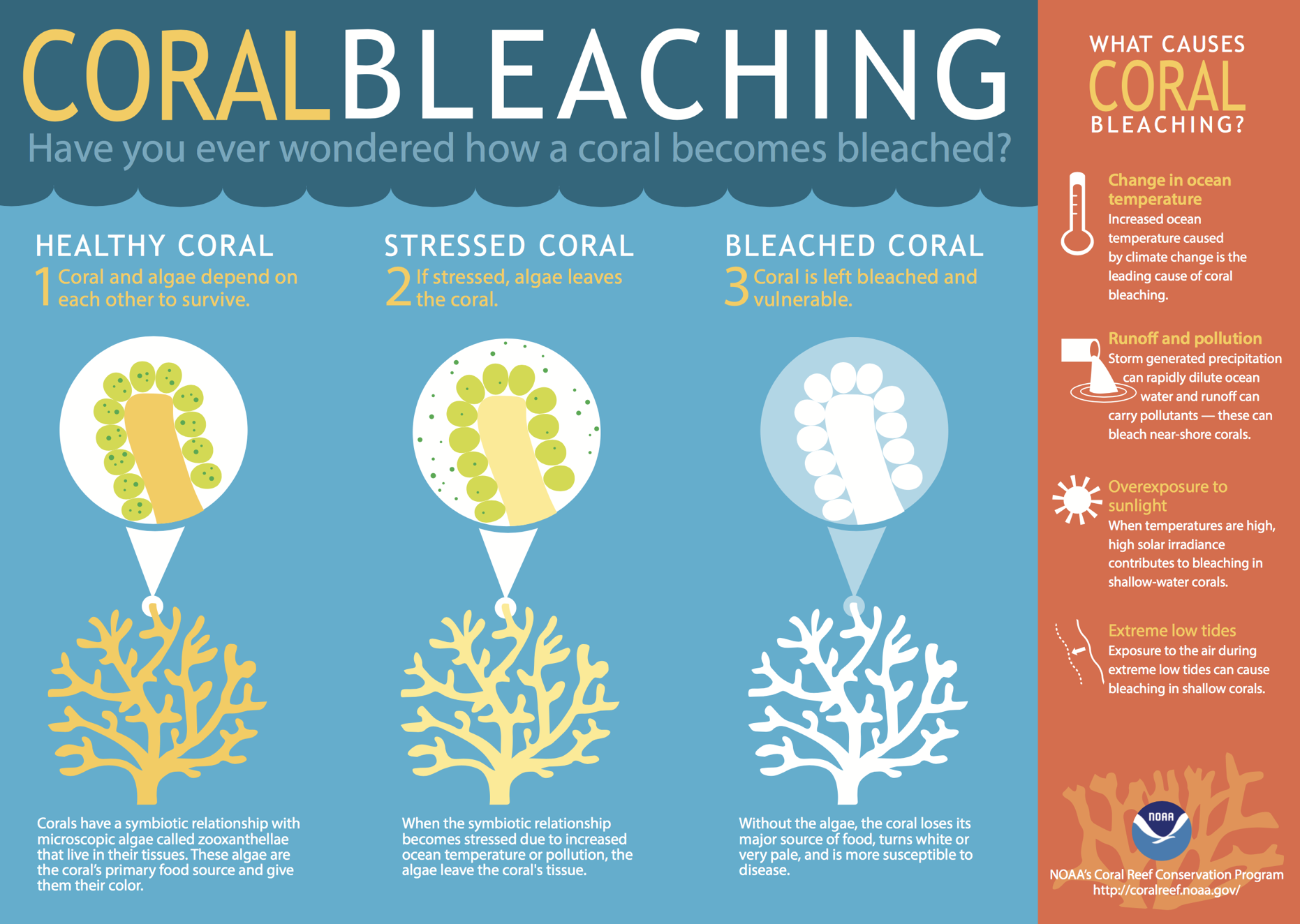 NOAA infographic of coral bleaching showing a healthy coral, stressed coral, and a bleached coral with varying levels or algae levels