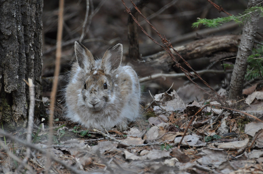 snowshoe hare in forest huddled on top of bed of leaves